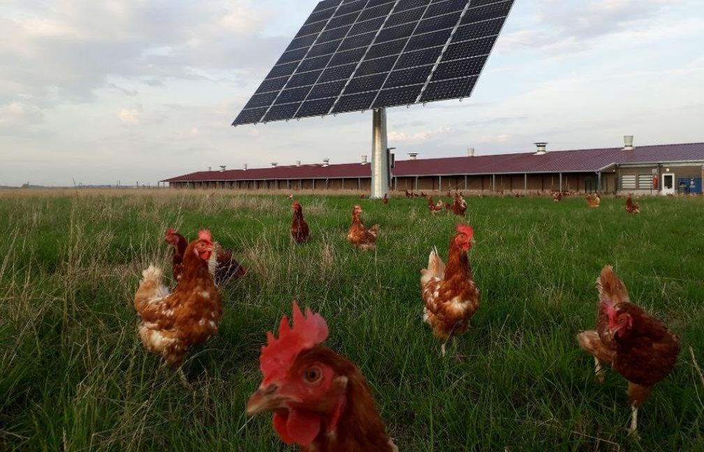 Elevage Poules - Agroforesterie