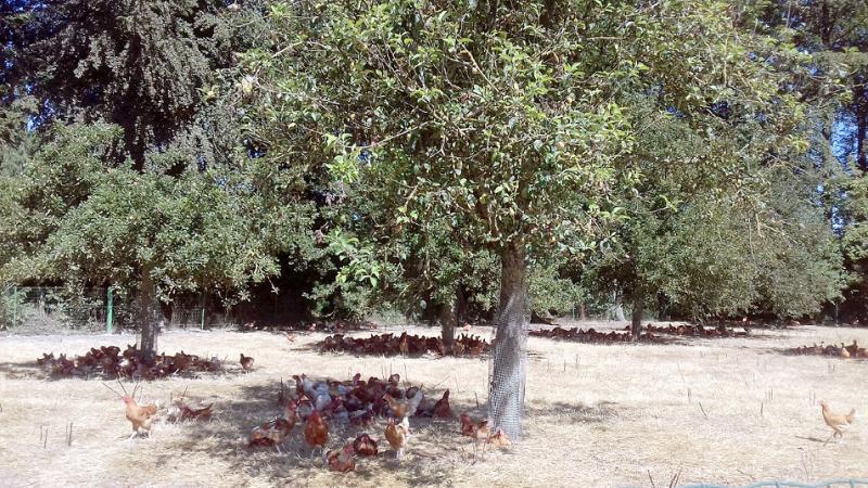 Poules plein air - Agroforesterie