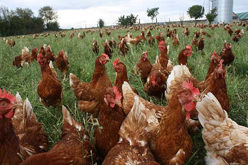 agroforesterie poules